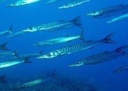 especies marinas al bucear en menorca