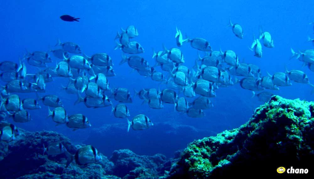 banco de peces Menorca, Fish school Menorca, vida marina en menorca